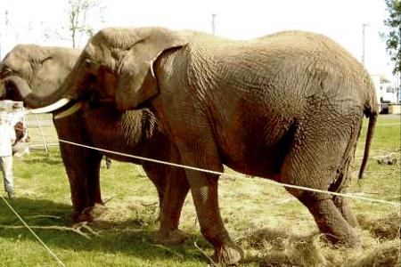 Mausi l'éléphant